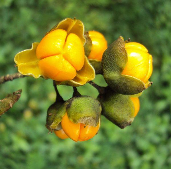 Celastrus Seed