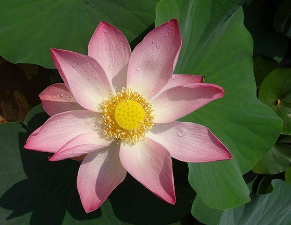 Sacred Lotus Flower Nelumbo Nucifera