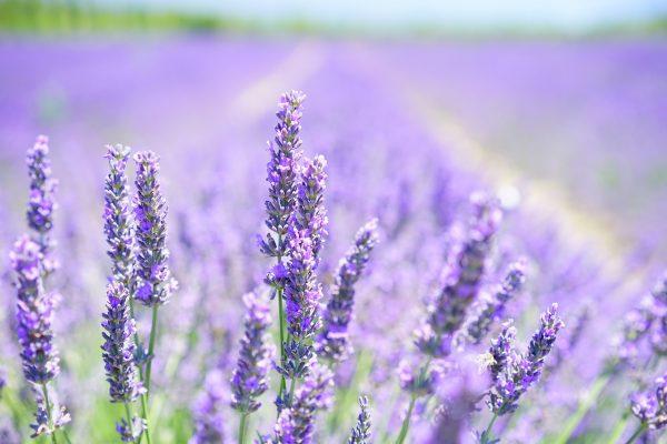 Lavender Herb - Bliss Botanica